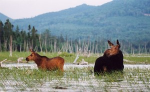 Maine Outdoor Adventure Moose Safari