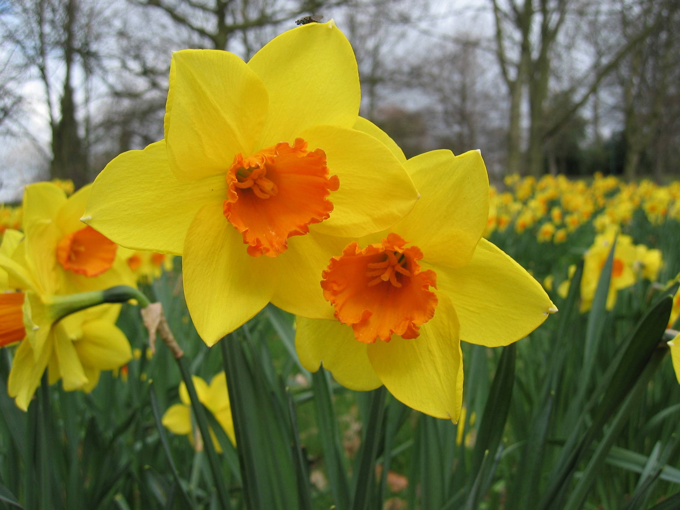 external image daffodil-flower-picture-5.jpg
