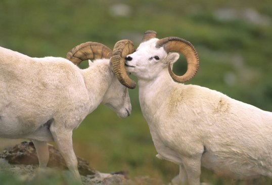 Big Horn Sheep 'Bond' (c) Aramark Parks & Destinations