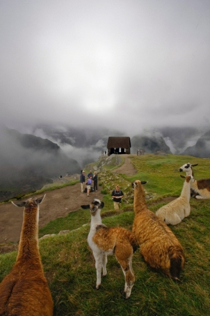 Llamas along the Inca Trail
